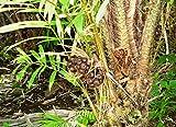 Salakpalme Salacca zalacca Schlangenfrucht Pflanze 20cm Rarität essbare Früchte