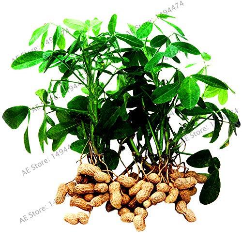 agrobits 2pcs / bag rossa arachidi bonsai, germinazione flores alti vegetali per la casa e il giardino, facile da coltivare