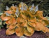 Hosta Seed Bonsai Pianta in vaso Herb Rare Blooming piante da seme terra Cover Casa giardino ornamentale Facile Grow 100 pc / Bag 10