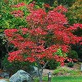 """Acer japonicum """"Maiku Jaku"""" (Acero) (Aconitifolium) [Vaso Ø20cm   H. 80 cm.]"""