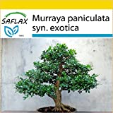 SAFLAX - Set de cultivo - Naranjo jazmín - 12 semillas - Murraya paniculata syn. exotica