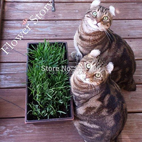 Promoción grande, 1000 dulce avena gatos, gato Semillas