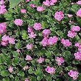 Erodium variabile 'Roseum' - Bec de Héron rose couvre-sol