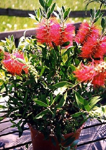 TROPICA - Callistemon Citrinus (Callistemon citrinus) - 400 Semi - Australia
