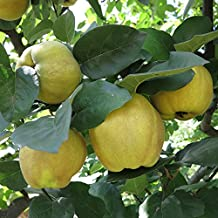 Patio Quince Tree in a 2 Litre Pot