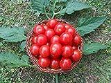 Mexikanische Honigtomate 20 Samen -Zuckersüß- ***Momentan teuersten Tomaten-Sorten***