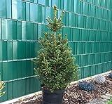 Heckenpflanze, Zuckerhutfichte, H ca.80 cm