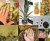 10x Mini Ananas kleinste Ananas der Welt Garten Zimmerpflanze frische Samen Obst süß #387