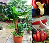 #8: DWARF Beautiful and Delicious RED Banana small tree Musa 'Dwarf Red' 35 SEEDS