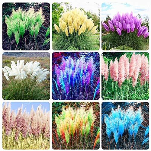 Shoopy Star 9: 20 Pcs Bonsaà Rare Bleu d'ÃRable Plantes Costume Pot pour Jardin Japonais Beau