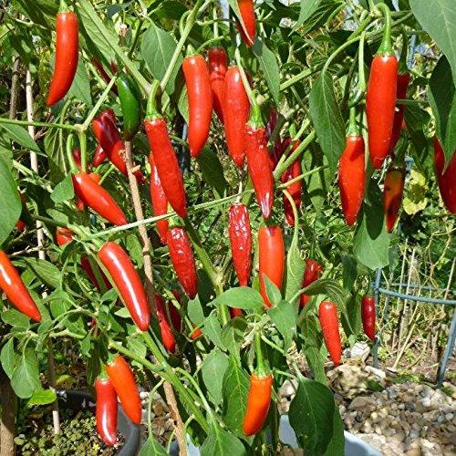 10 Samen Serrano Tampiqueno Chili – beliebte Sorte in Mexico