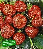 BALDUR-Garten Erdbeere Hummi´s 'Sengana Selektion', 6 Pflanzen Fragaria