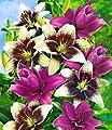 BALDUR-Garten Lilien-Mix 'Tango & Lilac', 5 Zwiebeln Lilium von Baldur-Garten bei Du und dein Garten