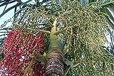 AGROBITS Neu!! 3 Seeding Alexandra Palm ????? ?? Thailand