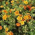 Potentilla fruticosa 'Hopleys Orange' (Fingerstrauch) BLÜHENDE HECKE ab 1,79 € pro Stück von Stauden Gänge auf Du und dein Garten