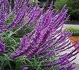 Salvia Apiana Sage Seed Jardin Erba semi del fiore 100 - ACQUISTA 4 PUNTI
