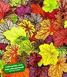 BALDUR-Garten Winterharter Bodendecker Heuchera-Mix Farbpalette Purpurglöckchen, 4 Pflanzen