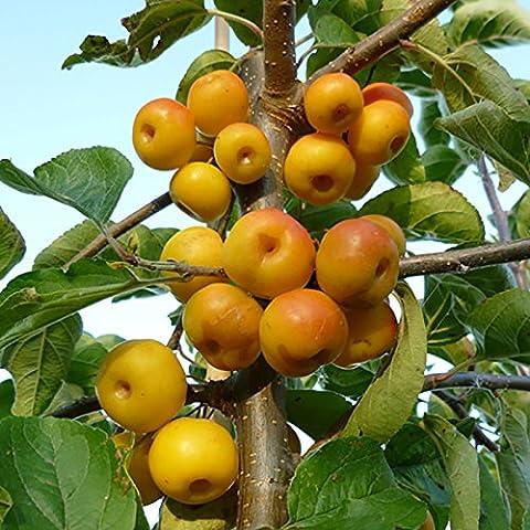 Crab Apple Golden Hornet Patio Fruit Tree in a 5L