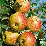 Starter Set Obstbäume, bestehend aus je 1 Pflanze: Apfel Cox Orange, Birne Conference©, Kirsche Schneiders Späte, Busch