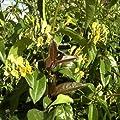 3 Geissblatt Henryi (Lonicera) Kletterpflanzen: 3 kaufen/2 bezahlen / Gelb - Immergrün & Winterhart - 1,5 Liter Topfen - ClematisOnline Kletterpflanzen & Blumen von ClematisOnline auf Du und dein Garten