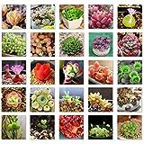 Etopfashion 500 Pcs Plantes Succulentes Graines Mélanger Cactus Lithops Plantes Ornementales Graines Accueil Jardin Plantes (500, Succulentes)