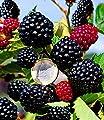 """BALDUR-Garten Zuckerbrombeere""""Asterina"""" 1 Pflanze Rubus fruticosus winterhart Brombeerpflanze Brombeerstrauch von Baldur-Garten bei Du und dein Garten"""