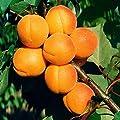 Zwerg-Aprikose Aprigold® von Gärtner Pötschke bei Du und dein Garten