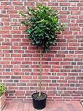 Kugelahorn, Höhe: 170-180 cm, Acer platanoides Globosum, Ahorn, Kugelbaum, Baum + Dünger