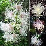 Ultrey Samenshop - Selten duftend Narzissen Samen Gartenpflanzen Zierblumen Saatgut Blumensamen mehrjährig winterhart für Garten Balkon/Terrasse