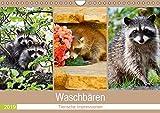 Waschbären 2019. Tierische Impressionen (Wandkalender 2019 DIN A4 quer): 12 bezaubernde Bilder von niedlichen Waschbären (Monatskalender, 14 Seiten ) (CALVENDO Tiere)