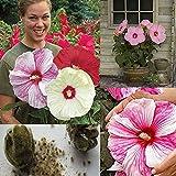 mxdmai 100 géant Hibiscus Fleur Graines Hardy, Mix Couleur, Bricolage Jardin en Pot ou Plantes de Fleurs de Jardin, Livraison Gratuite