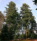 Gewöhnliche Douglasie (Pseudotsuga menziesii) 20 Samen *Größtes Exemplar war...