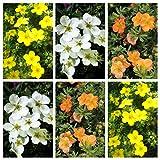 Fünffingerstrauch, Potentilla 6-er Set aus je 2 Pflanzen mit mit gelben, roten und weißen Blüten