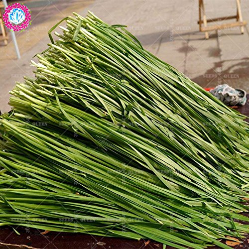 11.11 Big Promotion! 100 pcs / lot de graines de poireau semences de légumes vert chinois jardin et la maison plante herbacée organique