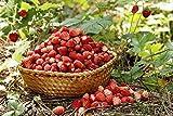 """Fragola selvatica fragola """"Mignonette"""", fragola alpina, fragola dei Carpazi, fragola europea, fraisier des bois - semi"""