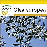 SAFLAX - Anzucht Set - Ölbaum - 20 Samen - Olea europea
