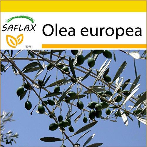 SAFLAX - Set de cultivo - Olivo - 20 semillas - Olea europea