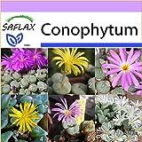 SAFLAX - Sukkulenten - Blühende Steine/Conophytum Mix - 40 Samen - Conophytum...