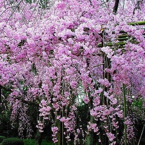 Wisteria Glicine vite semi alberelli semi piante