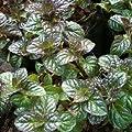 lichtnelke - Grapefruitminze (Mentha suaveolens x piperita) von Lichtnelke Pflanzenversand auf Du und dein Garten
