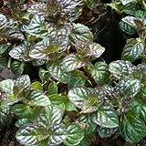 lichtnelke - Grapefruitminze (Mentha suaveolens x piperita)