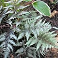 Regenbogenfarn Metallicum - Athyrium niponicum von Baumschule - Du und dein Garten