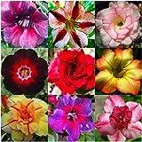 Adenium obesum flores colores mezclados bonsai - 10 semillas