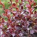 Berberitze Dart's Red Lady von Meingartenshop bei Du und dein Garten