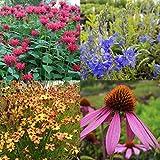 lichtnelke - 5 Stk. farbkräftiger Kübel - Pflanzen - Mix * ideal für Balkon und Terrasse * lange Blütezeit