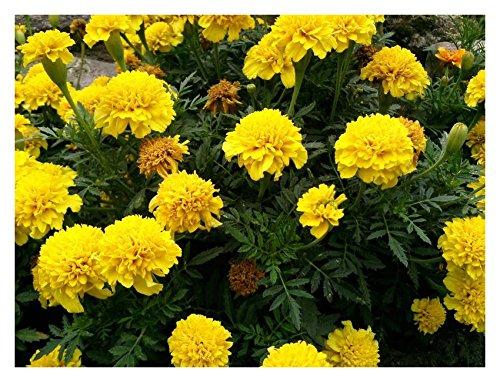 Les Graines Bocquet - Graines De Oeillet D'Inde Nain Yellow Pigmy Jaune Citron - Graines Potagères À Semer - Sachet De 1.2Grammes
