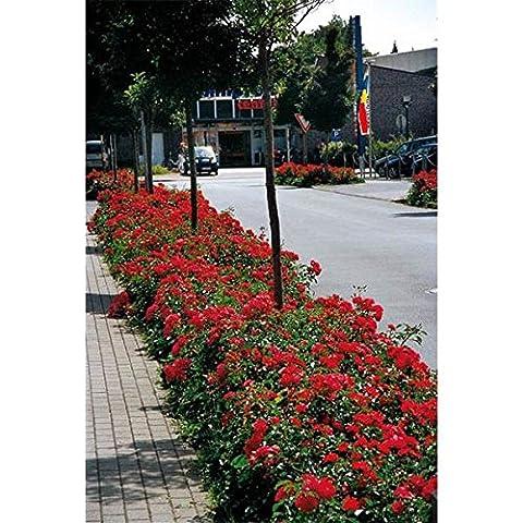 Rose Flower Carpet Ruby (3Litre Pot)