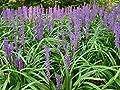 1 x Liriope muscari 'Majestic' Lilientraube (Ziergras/Gräser/Stauden) von Stauden Gänge - Du und dein Garten