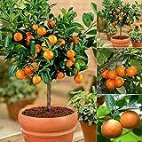 Inkeme Giardino - Orange Tree Seeds Madarin Albero di mandarino Semi di Kumquats Semi di frutta Bonsai Piante da frutto Semi perenni hardy