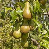 Pear Conference Bare Root Fruit Tree